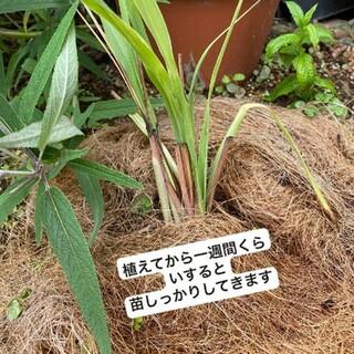 レモングラス苗本 5すぐ発送(野菜)