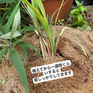 レモングラス苗10すぐ発送(野菜)