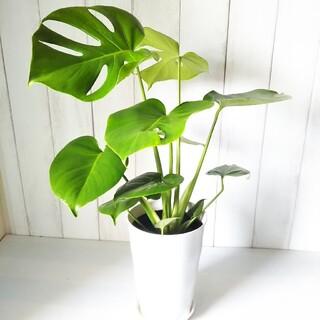 Aモンステラ❗️人気観葉植物❗️樹形綺麗❗️受皿付