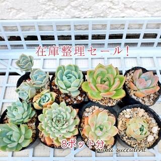 大特価❣️★多肉植物 nanaselect 在庫整理セール c081