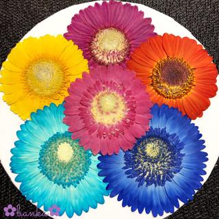 ✿押し花素材✿彩りガーベラ6輪セット【直径約7cm〜8cm】