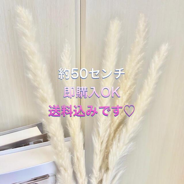 【大人気】パンパスグラス ホワイト10本入り 送料込み ドライフラワー ハンドメイドのフラワー/ガーデン(ドライフラワー)の商品写真
