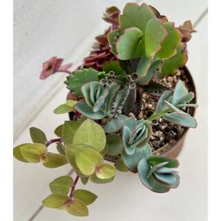 多肉植物5種マルニエリアナ 胡蝶の舞 カリシアロザート  子宝草 不死鳥の抜き苗(その他)