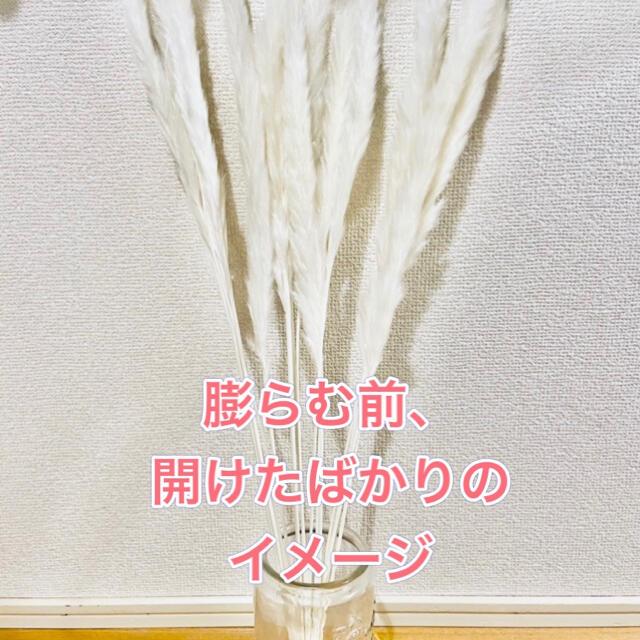パンパスグラス 白15本入り ドライフラワー 韓国インテリア 送料込み ハンドメイドのフラワー/ガーデン(ドライフラワー)の商品写真