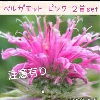 ベルガモット 花苗 2株set ピンク(その他)