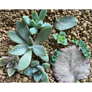 多肉植物6種カット苗(その他)