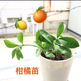 柑橘苗 無農薬 葉からとても爽やかな香りに癒されます(フルーツ)