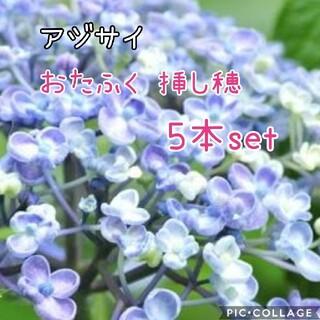 紫陽花おたふく 挿し穂 5本set(その他)
