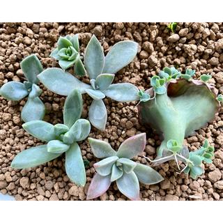 多肉植物6種 カット苗(その他)