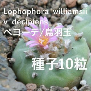 ペヨーテ/烏羽玉/銀冠玉/Lophophora williamsii 種子10粒(その他)