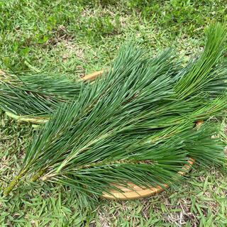 松葉 採れたて200g 新芽 無農薬 赤松 黒松(健康茶)