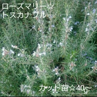 ローズマリー☆カット苗(プランター)
