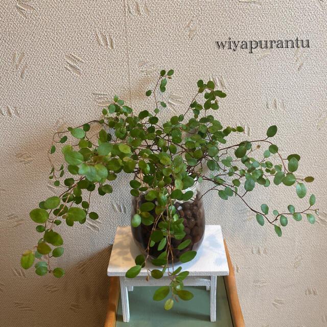 ワイヤープランツ 観葉植物 ハイドロカルチャー ハンドメイドのフラワー/ガーデン(ドライフラワー)の商品写真
