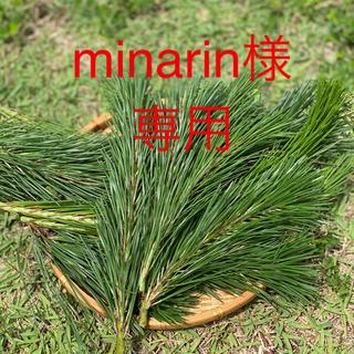 松葉 採れたて200g 新芽 赤松 黒松 無農薬(健康茶)