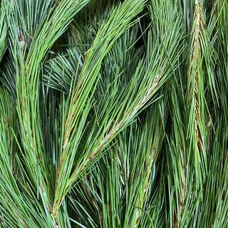 松葉 採れたて500g 新芽 赤松 黒松 無農薬(健康茶)