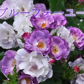 青バラ 苗 薔薇