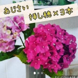紫陽花ビビッドピンク 挿し穂 3本(その他)