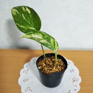 ポトス ゴールデン ミニ苗A  観葉植物(その他)