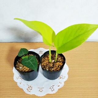 ポトス ライム & ハートヘデラ ミニ苗  観葉植物(その他)
