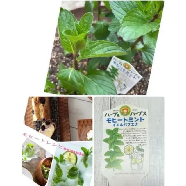 イエルパプエナ モヒートミントカット苗3本+根付1本付き ハンドメイドのフラワー/ガーデン(プランター)の商品写真