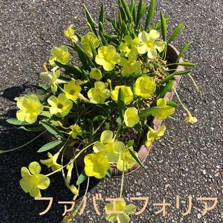 ☆美品☆オキザリス ファバエフォリア 球根 6個 Fabaefolia(その他)