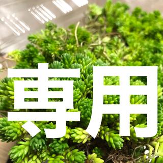 多肉植物 オーロラ 葉挿し 40粒以上 即購入歓迎