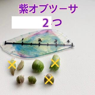2個 紫オブツーサ ハオルシアカキ仔 カキ仔苗 オブツーサ 多肉植物 多肉(その他)