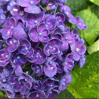 ポップコーン紫陽花挿し穂(プランター)