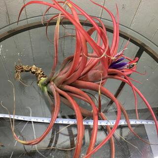 開花期! 真っ赤です。 チランジア エアプランツ ブラキカウロス Lサイズ(プランター)