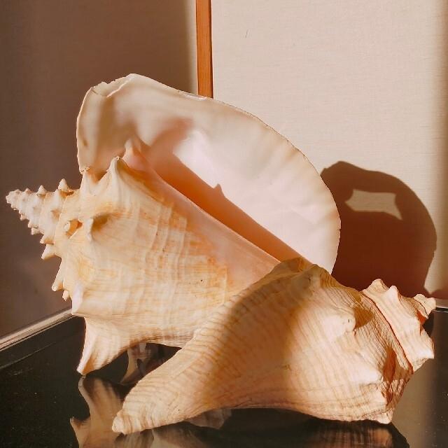 お洒落!貝殻 シェル ランプ 西海岸 ビーチハウス カルフォルニアスタイル インテリア/住まい/日用品のライト/照明/LED(テーブルスタンド)の商品写真