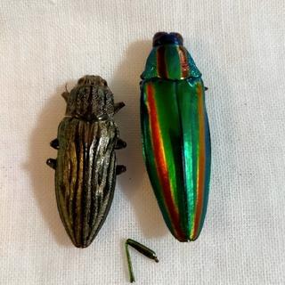 玉虫の標本(置物)