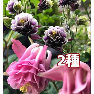 オダマキ 2品種 40粒(その他)