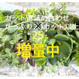 増量中⭐︎ 多肉植物/カット苗/寄せ植え/春萌/七福神/マクドガリー/セダム/(その他)