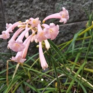●キルタンサス(マッケニー)   ピンク色(その他)