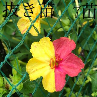 オシロイバナ 白粉花 チビチビ赤ちゃん苗 7本(その他)