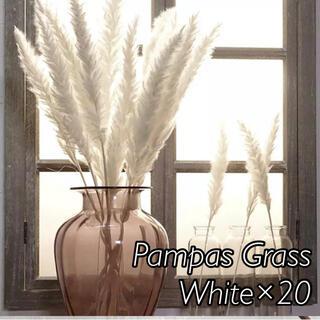 パンパスグラス ホワイト20本(ドライフラワー)