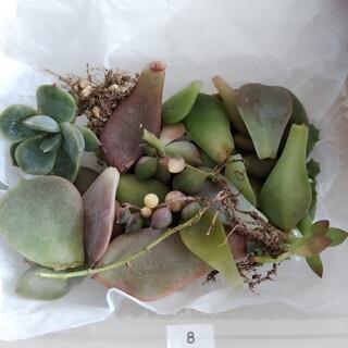 ⑧ ピンクグリーンネックレス斑入り 苗 葉押し 寄せ植え(その他)