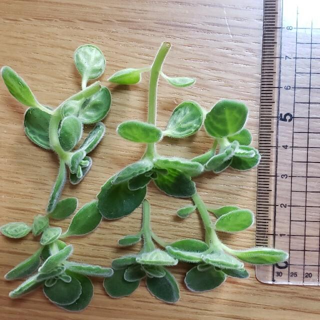 多肉植物  ハーブ  アロマティカス ハンドメイドのフラワー/ガーデン(その他)の商品写真