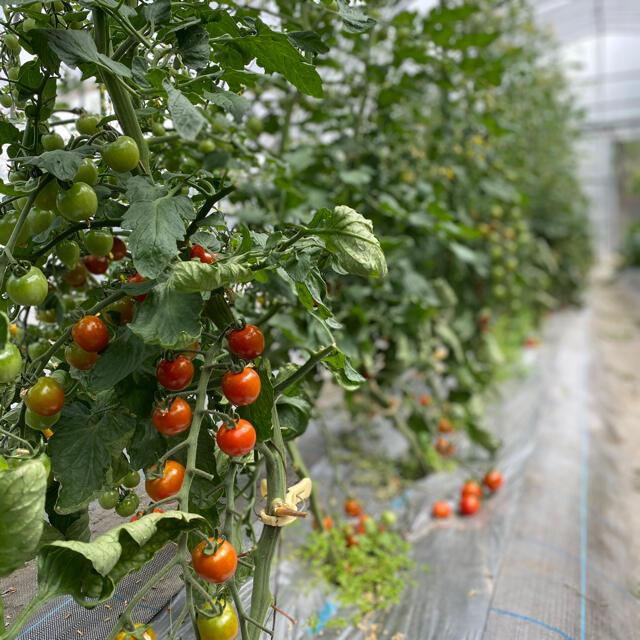 ミニトマトカラフルMIX約1キロ 食品/飲料/酒の食品(野菜)の商品写真