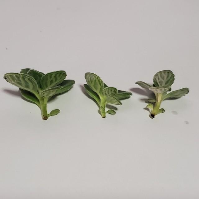 ✤ハーブ✤ アロマティカス カット苗 3つ ハンドメイドのフラワー/ガーデン(その他)の商品写真