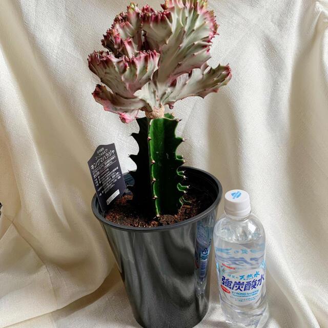 キングマハラジャ ハンドメイドのフラワー/ガーデン(その他)の商品写真