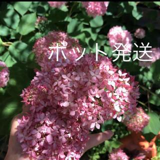 ①ポット発送(ᵔᴥᵔ)♡アナベル ピンク♡発根苗♡可愛いお庭♡ドライフラワー(ドライフラワー)