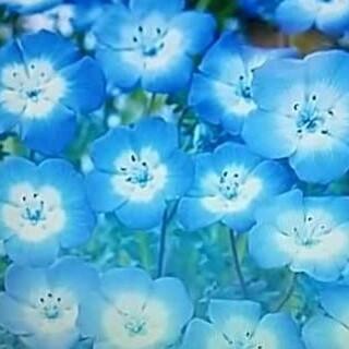 花の種       ネモフィラ200粒+おまけ(その他)