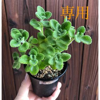 植物 ⭐︎専用⭐︎ハーブ アロマティカス 抜き苗 3ポット(その他)