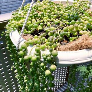 グリーンネックレス 多肉植物 カット苗 10センチ10本(その他)