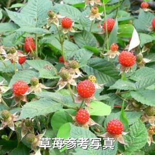 ⭐️木苺苗2株セット⭐️美味しい木いちご 草苺の抜き苗 栽培容易なラズベリー(その他)