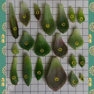 多肉植物の葉挿し20種類(その他)