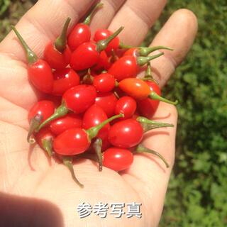 ⭐️枸杞の挿し穂30本⭐️クコの実⭐️くこ 漢方 山菜 野草 生薬(その他)