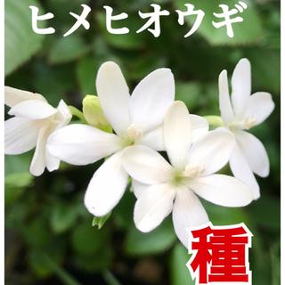 種子 ヒメヒオウギ  希少ホワイト(その他)