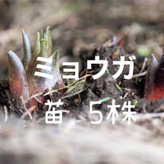 ミョウガ 茗荷 苗 5株(野菜)